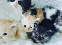 قطط شيرازية بيور للبيع العمر شهر