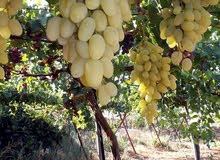 مزرعه في النبي هود جرش مزرعه مميزة جداً