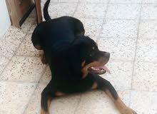 Rottwiler with pedigree