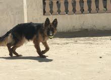 كلب جيرنن شيفرد الاسطوري
