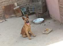 كلبة جيرمن ازاز عمر 3 شهور