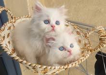 للبيع قطط شيرازي اصلي بيور ذكر وانثي