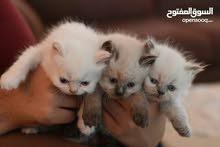 قطط هملايا للبيع عمر 3 اشهر
