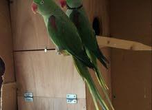 Alexander parrot pair for sale