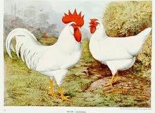 مطلوب دجاج الجهورن أو بيض مخصب