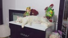 قطة شيرازية معا افراخها 2