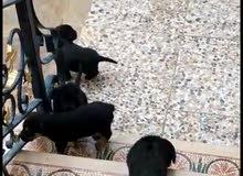 كلاب للبيع روت وايلر