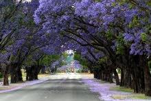 بذور اشجار برية واشجار ظل وزينة توصيل مجاني