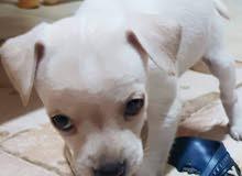 chihuahua puppy pure