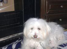 كلبة نوع فرنش ترير