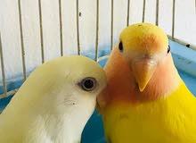 6 lovebirds in Al Ain