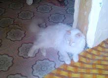 قطه نوع شيرازيه .