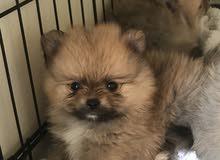( teacup) Pomeranian puppies (جراوي بوميرينين ( تي كب