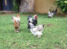 دجاج براهما العدد خمسه وفروج