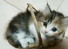 قطة شيرازية للبيع