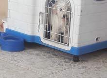 كلب تيري زينه بصحه جيده العمر 3 اشهر مع دفتر لقاح كامل