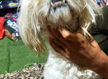 كلب تيرير الفرنسي للبيع