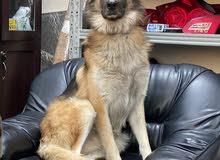 German Shepherd king size for Sale