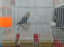 طيور حب اوبلاين يردن يبيضن هسه طلعن خمس افراخ عزلتهن هنه والقفص وبيت التكاثر الع