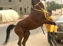 حصان كفو الكفو