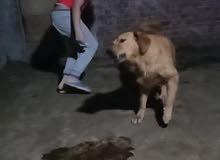 female golden retriever dog