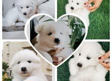 سامويد للبيع-Samoyed puppies