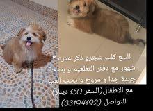 كلب شيتزو ذكر عمره 3 شهور
