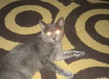 القط الروسي الازرق