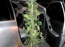 I want to sale money plant coz shifting