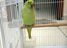 Indian ring neck