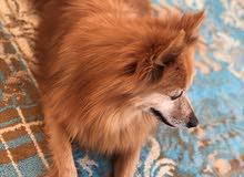 للبيع كلب بوميرين ذكر