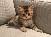 Gold Color Scottish Straight Kitten (Male)