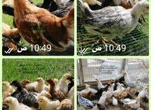 صيصان دجاج محلي