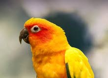 Wanted conure