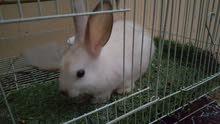أرنب ذكر هولندي