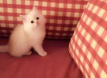 قطط هملايا قابل للتفاوض