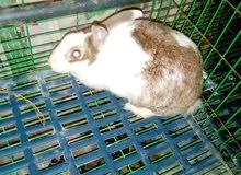 ارنب لبيع