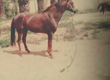 حصان للبيع أو استبدال بسيارة
