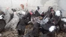 دجاج زينة وبراهمي
