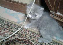 قطط. شيرازي للبيع