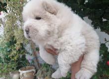 تشاو تشاو انثي عمرها 1شهر