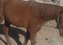 حصان العمر 3 سنوات ماشاء الله عليه