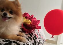 need  pure male pomeranian to  breed