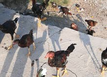 دجاج هراتي للبيع 35 تك