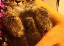 قطط شيرازي للبيع  قابل للتفاوض