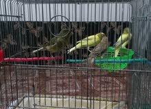 جوز عصافير مع 4 مخاليف شغالات