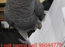 مفقود كاسكو (ببغاء) Lost parrot missing bird