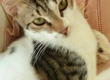 قطة فان تركي