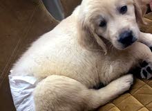 2 golden retriever for sale 10 months old