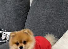 Pomeranian (mini) pure breed for sale